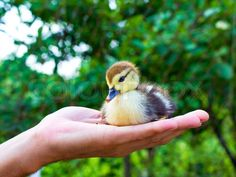 Small yellow and black duck in the man's hand, stock photo