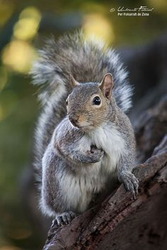 Squirrel by Umberto Fistarol Animals And Pets, Baby Animals, Funny Animals, Cute Animals, Wild Animals, Cute Squirrel, Baby Squirrel, Squirrel Pictures, Funny Animal Pictures