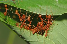 Almost Finished - weaver ants building a nest