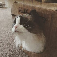 Awwwww Haddy is so sweet look at that gorgeous face #cat #catsofinstagram #cats_of_instagram #catfurnature #catfurniture #catsinboxes #cattoy #INSTACAT_MEOWS #cutecat #PurrMachine #catsinboxes #catbox #Excellent_Cats #BestMeow #dailykittymail #thecatniptimes #catcube #catpod #ArchNemesis #FlyingArchNemesis #myindoorpaws #ififitsisits #cutecatcrew #catchalet #catnip #themeowdaily #kitty #catpyramid #miuandmaosfurriends