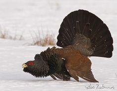 western capercaillie | Western Capercaillie - Grouse, Partridge and Pheasant - Swedish Birds ...