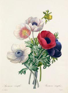'Anemone simplex', Redouté, Pierre Joseph (1759-1840) (Artist)