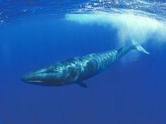 Sei Whale - Balaenoptera borealis - ENDANGERED. Range includes the coast of Connecticut.