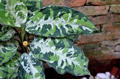 """Aglaonema Pictum """"Tricolor"""" Plant Ultra RARE Terrarium Aroid Tropical Plant…"""