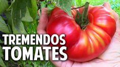 12 trucos para cultivar tomates XXL (en tamaño y sabor)