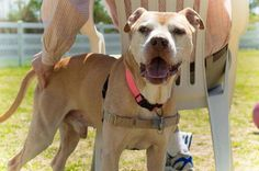 Meet Off-Site Foster 1402-0250 Maaco, a Petfinder adoptable Pit Bull Terrier Dog | Virginia Beach, VA | Thank you for your interest in our adoptable animals. If you would like more information about this...