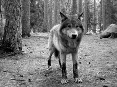 My favourite animal...the grey wolf.