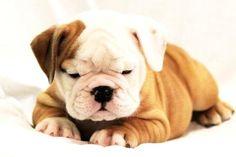 Clover, the English Bulldog puppy