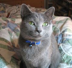 Unusual Cat Breeds or different kinds of cats. There so many different adjectives are used for describing these creatures, but some cats look very weird. Different Types Of Cats, Kinds Of Cats, Blue Cats, Grey Cats, Russian Blue Kitten, Cat Calendar, Picture Calendar, Nebelung, Grey Kitten