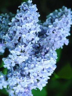 Ivory Halo Dogwood, Annabelle Hydrangea, Blue Fescue, Sunflower Colors, Syringa Vulgaris, Screen Plants, French Lilac, How To Attract Birds, Gardens