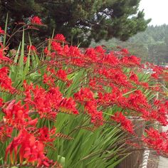 Crocosmia Lucifer - planted en masse is the best way to show off this plant.