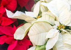 Photo: Traditional red poinsettia stands in stark contrast to the snow-white type. Take good care of them and they can reward you for months.
