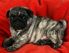 Really Rare Colorsbeautiful Pug Pics Pugs Dogs Puppies