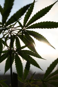 cannabis lovers   Join our board --> #1Cure4Cancer   www.mycutcorep.com/JamesTaylor