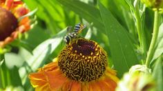 Leafcutter bee on Helenium autumnale