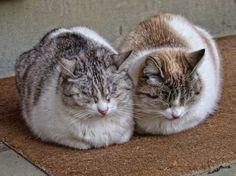 https://flic.kr/p/k5YNv1 | Sister cats at the Pitti Palace
