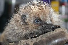 Andy, a gorgeous orphaned hedgehog hoglet at my rescue centre - by littlesilverhedgehog