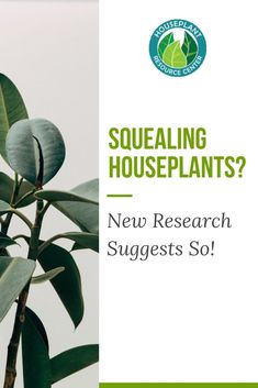 New research suggests that some plants may emit sounds when stressed! Read more about it and how to keep your plants happy. House Plant Care, House Plants, Types Of Houseplants, Fiddle Leaf Fig Tree, Spider Plants, In 2019, Natural Phenomena, Research, Read More