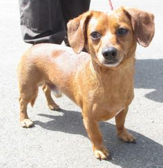#OREGON ~ Duke is a Doxie who's on Custody Hold - if he becomes avail for #adoption / #rescue more will be posted ::: https://www.petfinder.com/petdetail/29369993/ YAMHILL COUNTY DOG CONTROL 2070 NE Lafayette Ave #McMinnville Oregon 97128  whitingj@co.yamhill.or.us Ph 503-434-7538