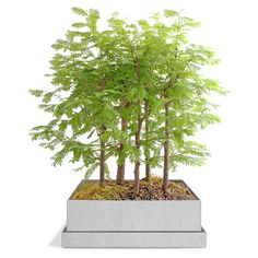 DAWN REDWOOD BONSAI FOREST from @uncommon