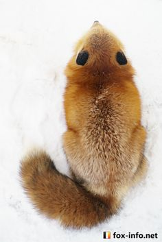 Red Fox | fox-info.net - foxinfonet - fox_info_net