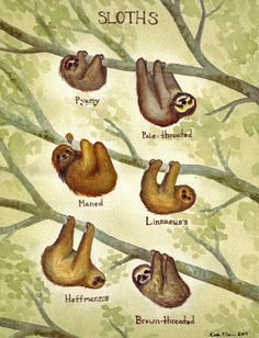 Sloth Field Guide / katedolamore.com