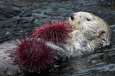 Look, I have TWO sea urchins! - May 2017 Sea otter Keystone Species, Otter Pops, Kelp Forest, River Otter, Save Animals, Wild Animals, Endangered Species, Ocean Life, Otters