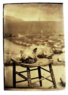 Tintype Photo Portrait of An Adorable Little Cairn Terrier Puppy Dog Too Cute | eBay
