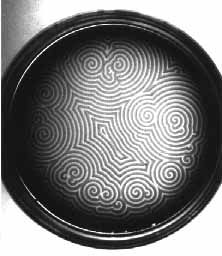 Target patterns and spiral waves in the Belousov-Zhabotinsky reaction observed in a petri dish