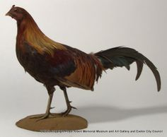 red junglefowl - It is easy to see the similarities with the cockerels of many modern breeds of domestic chicken.  Willoughby Lowe collected this bird from Bac-Tan Province in Vietnam, in the area where, many thousands of years ago, chickens were first domesticated. - Royal Albert Memorial Museum & Art Gallery, Exeter