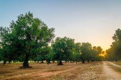 Go on a Puglia olive oil tour by following the Strada dell'Olio di Puglia, a gastronomic route in the province of Brindisi.