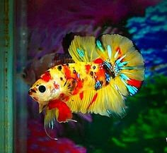 Exotic wildly coloured male Betta. Koi Betta, Betta Fish Tank, Beta Fish, Aquarium Fish Tank, Fish Tanks, Tropical Freshwater Fish, Freshwater Aquarium Fish, Tropical Fish, Beautiful Fish