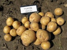 Yukon Gold is a medium- to high-yielding potato with attractive appearance, excellent storability, a long dormancy period and high specific gravity. Agriculture Canada, Yukon Gold Potatoes, Indoor Gardening, Eggplant, Cambridge, Garnet, Death, Star, Vegetables