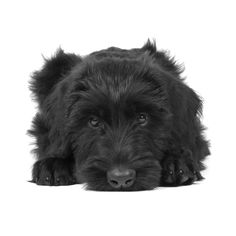 Giant Schnauzer Puppy - Milo (10 weeks old)