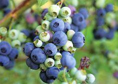 Nejlepší chuť mají kanadské borůvky v době plné zralosti Blueberries, Euro, Gardening, Dessert, Berry, Blueberry, Lawn And Garden, Deserts, Postres