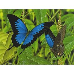 Australian Wildlife Painting Ulysses Butterfly, by Kevin Stead found on Polyvore featuring polyvore and butterflies