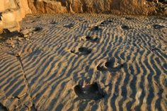 Beautiful Iguanodon Tracks And fossilized Rippelmarks