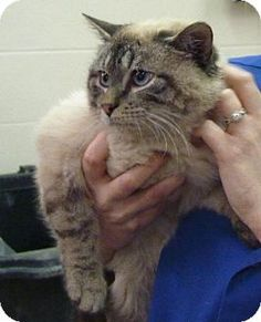 Zanesville, OH - Himalayan. Meet 40837 Bud, a cat for adoption. http://www.adoptapet.com/pet/12307882-zanesville-ohio-cat