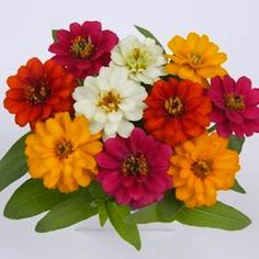 Profusion Double Mix Zinnia - Annual flower