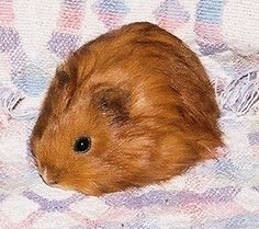Baby guinea pig or a Star Trek Tribble? YOU decide.  (Hint: Tribbles didn't have beady little eyes.)