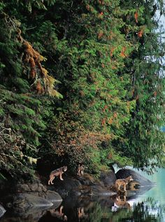 seafront wolves, BC, Canada✔zϮ