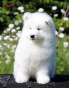 Fluffy Dogs, Fluffy Animals, Animals And Pets, Samoyed Dogs, Pet Dogs, Dog Cat, Doggies, Cute Baby Dogs, Cute Dogs And Puppies