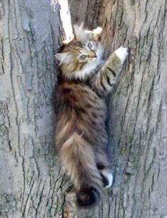 mainecooncats85 practical cats Pinterest Cats