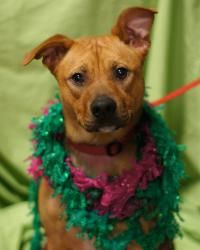 Gambler is an adoptable Boxer Dog in Toledo, OH. All Planned Pethood dogs and puppies are altered (spayed/neutered) and fully vetted prior to adoption.