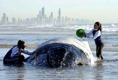 Une baleine à bosse est mouillée par des membres du Sea world de Palm Beach en attendant la marée montante pour la remorquer dans les eaux profondes.