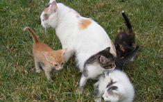 Nadpłodnienie i zapłodnienie dodatkowe u kotów