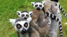 Família de lêmures no zoológico de Marlow, Alemanha