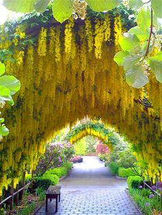 If there is such a thing as golden wisteria it is beautiful...