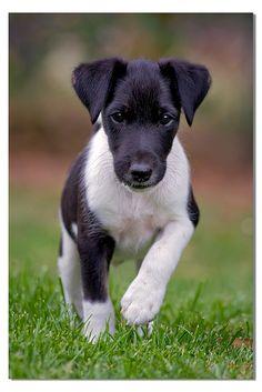 Fox terrier. Sweet little face.