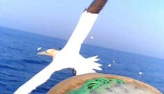 Tiny cameras attached to the back of gannets